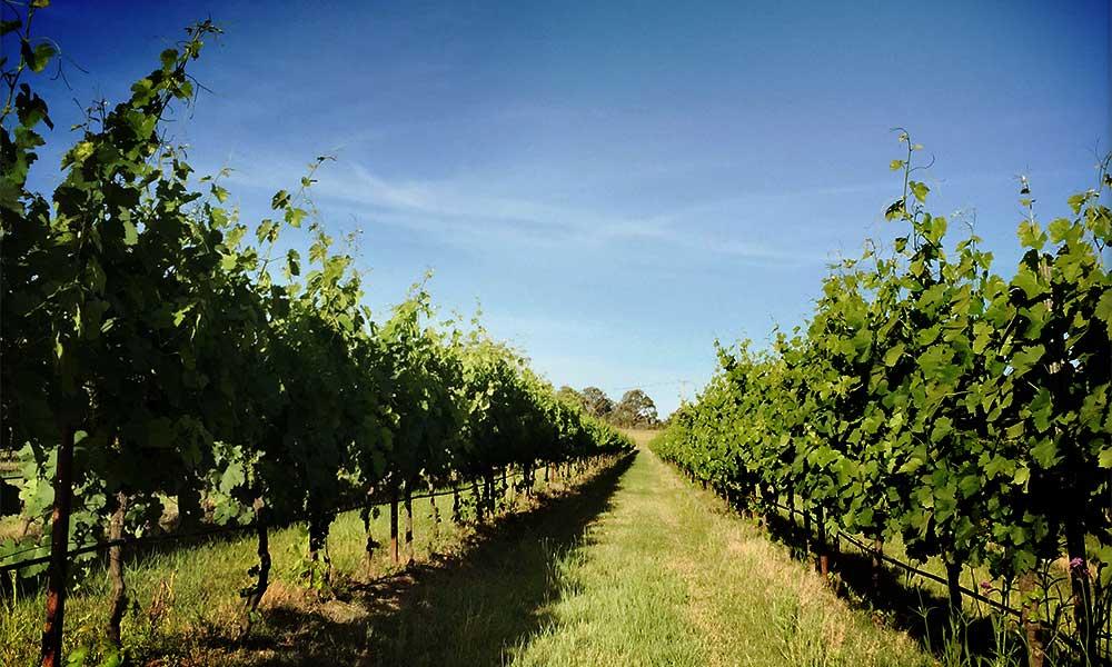 Lucy's Run vineyards